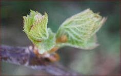 Gemmotherapy Elixers {the art + science of the therapeutic use of tree buds} // by Gail Faith Edwards
