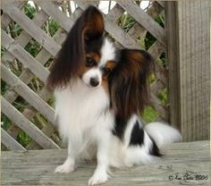 A male Papillon (and Phalene)