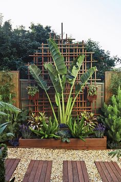"Add symmetry to hosta garden add larger trellis. traveller's palm provides vertical drama in this tight space, bookended by the octopus-like forms of Myers asparagus ferns. Greg transformed the bare [Colorbond](http://www.colorbond.com/|target=""_blank"") fence on a tight budget by creating a decorative framework panel from simple garden stakes. Bamboo screening panels were framed with lengths of recycled timber. Photo: Scott Hawkins"
