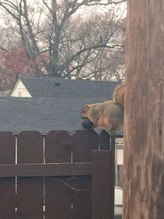 Obese squirrel