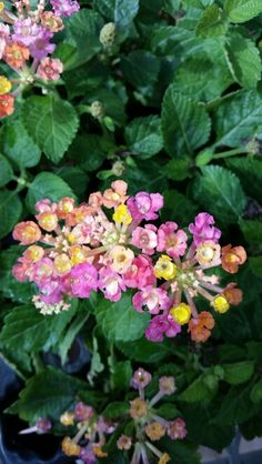 Lantana Bandana Cherry Sunrise  In the greenhouse today Ask me how to get them for your yard