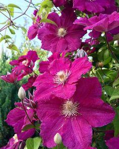 Clematis Florida, Clematis Viticella, Juni, Plants, Clematis Plants, Climbing Vines, Mulches, Bumble Bees, Dahlias