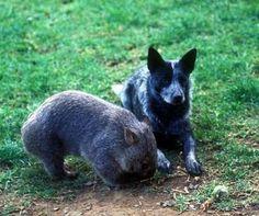 Bluey's pet wombat