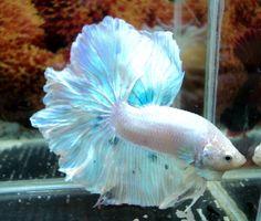 Opal looking betta fish.