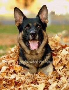 """A very handsome German Shepherd Dog in fall leaves.Hope you're doing well..From your friends at phoenix dog in home dog training""""k9katelynn"""" see more about Scottsdale dog training at k9katelynn.com! Pinterest with over 21,400 followers! Google plus with over 280,000 views! You tube with over 500 videos and 60,000 views!! LinkedIn over 10,600 associates! Proudly Serving the valley for 12 plus years! now on instant gram! K9katelynn"""