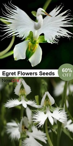 Orchidée Aigrette - UP to OFF -- Japanese Egret Flowers Seeds White Egret Orchid Seeds Radiata Rare White Orchid Home Garden Weird Plants, Unusual Plants, Rare Plants, Exotic Plants, Strange Flowers, Unusual Flowers, Rare Flowers, Beautiful Rose Flowers, Amazing Flowers