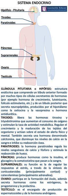 Infografía Neurociencias: Sistema endocrino. | Asociación Educar