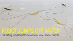 New Robot Can Walk On Water And Leap Just Like Water Striders [Video] - Researchers at Wyss Institute has created a new groundbreaking robot that can walk on water and leap off the surface just like water striders. Surface Tension, Walk On Water, Striders, Viral Videos, Science, Technology, Canning, Robots, Top