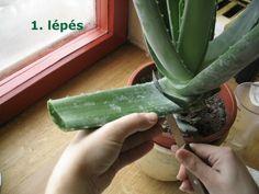 Készítsünk Aloe vera italt házilag - képes egészségrecept