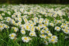 Original Wallpaper, Cover Photos, Grass, Daisy, Bloom, Nature, Plants, Workout, Small Vegetable Gardens