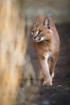 caracal caracal karakal caracal the caracal caracal caracal is a medium sized wild cat 5882124013152 Animals wild Caracal Caracal, Felis Manul, Serval, Beautiful Cats, Animals Beautiful, Big Cats, Cats And Kittens, Animals And Pets, Cute Animals