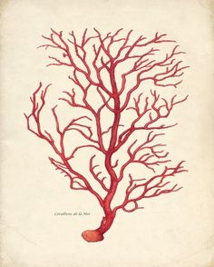 Antique print of coral. LeeAnn, this could be pretty with your color scheme.