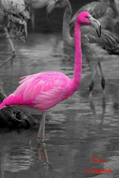 Flamingos are a coral-red-pink yes, but not this hot pink colour. Anyway, for people who aren't aware of this, can't you tell by the pink water? Share this and stop the Photoshopping! Pretty Birds, Love Birds, Beautiful Birds, Animals Beautiful, Cute Animals, Exotic Birds, Colorful Birds, Pink Bird, Kinds Of Birds