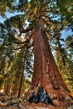 Top 10 Fastest Growing Trees in the World - Once you think about trees, there's a tendency to think of them as slow things. But, did you know that there are some trees that grow fast? Giant Sequoia Trees, Giant Tree, Big Tree, Sequoia National Park, National Parks, Sequoiadendron Giganteum, Fast Growing Trees, Adventure Is Out There, Natural Wonders