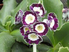 Primula auricula 'Artwork' Show Auricula - Gorgeous purple plant