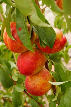 Nectarine Tree- growing right now