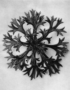 Karl Blosffeldt, Saxifraga Willkommiana, Willkomm's saxifrage, rosette of leaves