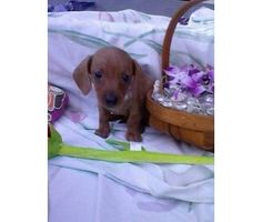 mini- dachshund puppies is a Dachshund Puppy For Sale in Pittsburgh PA
