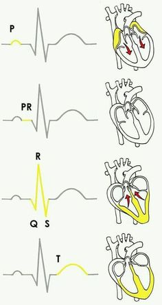 Experiment: Monitor Your Heart Rate with the SpikerShield Electrocardiogram (ECG) Cardiac Nursing, Nursing Career, Nursing Degree, Nursing Graduation, Nursing School Notes, Medical School, Nursing Schools, Nursing School Humor, Funny Nursing