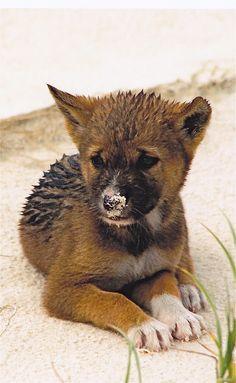 Sandy dingo puppy at Fraser Island, Queensland, Australia