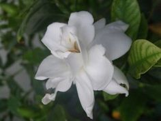 Gardenias are flowering plants that generally grow to a height of about 3 to 6 feet. Bush Garden, Garden Shrubs, Landscaping Plants, Garden Plants, House Plants, Flowering Plants, Gardenias, Gardenia Bush, Gardenia Care