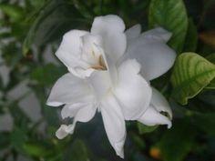 how to grow a gardenia tree