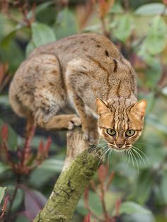 Rusty Spotted Cat / by Colin Langford on 500px