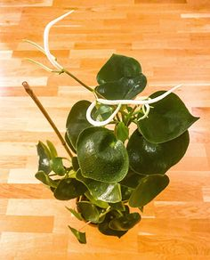 Look 👀 my Plant Care, Evergreen, Plant Leaves, Tropical, Tips, Plants, Plant, Planets, Counseling