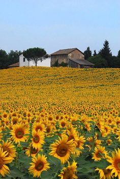 Umbria, Terni's countryside - it's exactly this beautiful- field after field of golden carpets - a gift to behold . Flowers Nature, Wild Flowers, Beautiful Flowers, Sunflowers And Daisies, Sunflower Pictures, Champs, Sunflower Wallpaper, Sunflower Fields, Natural Scenery