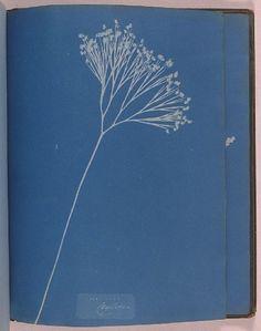 Cyanotype of a fern, 1853, Anna Atkins. English photographer, (1799-1871)