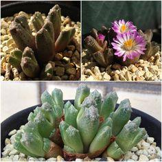 Conophytum khamiesbergensis