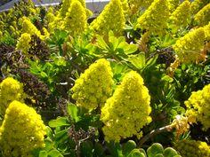Bejeques en flor Cactus Y Suculentas, Canario, Canary Islands, Flora And Fauna, Tenerife, Animals Beautiful, Landscape, Fruit, Naturaleza
