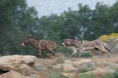 Wild Burros, Moreno Valley, California