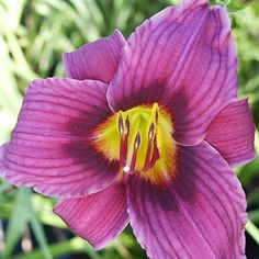 Hemerocallis 'Grape Magic' Daylily. Purple/Violet Flowers.