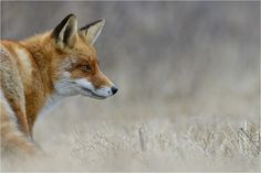 Red Fox by P. Lindel