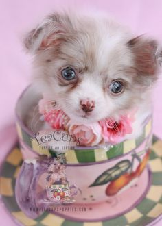 Beautiful Long Haired Chihuahua puppy by TeaCups, Puppies & Boutique.