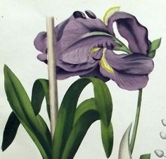 1850 - IRIS - fine hand coloured LITHOGRAPH by Berge. Botany. #botanical #engravings #prints #lithographs #handcoloured #flowers #plants #fruits #berries #vegetables #herbs #mushrooms #Antique Print #Antique Engraving #Original Print #Original Engraving #Alte Stiche #Gravure #Stampa Antica #Ornamental #Decorative #Original #Victorian #Antique Etching #Original Etching