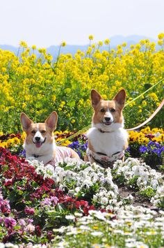 Mary, Mary quite contrary how does your garden grow?  With yellow, white, red, blue flowers and DON'T forget a Corgi or two!!