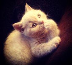 Silky, my new British Shorthair cream kitten:)