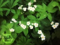 horsmatee-hurmaa-villiinny-villiyrteista lisääjoukkoon mansikanlehtiä Herbs, Plants, Herb, Plant, Planets, Medicinal Plants