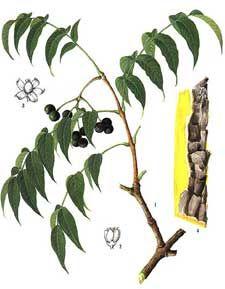 !medicinal bark cash crop!amur cork tree herb