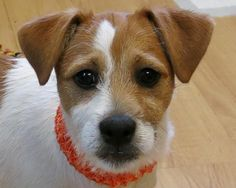 Wings (4 months old) is an adoptable Jack Russell Terrier, Dachshund Dog in High Point, NC Oh, my goodness, we have the most delightful litter of puppies!! They were born 11/28/14 to a 1 ... ...Read more about me on @petfinder.com