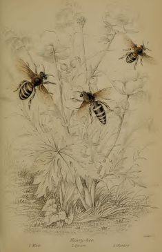 http://www.honeylibrary.com/sites/default/files/illistrations/The-Naturalists-Library-5.png