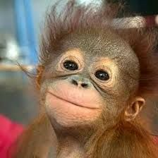 Image result for cute orangutan