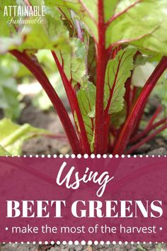 """Wondering what to do with beet greens? They're not a common """"vegetable"""" but they're perfectly edible! Sure, your chickens love 'em, but your family might, too. Check out these beet greens recipes and add some beet greens to your next meal. They're an inexpensive way to add fresh greens to your diet. #frugal #cooking #garden via @Attainable Sustainable"""