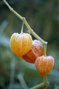 Frost on a chinese lanterns - 42-25162432 - Rights Managed - Stock Photo - Corbis