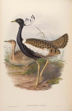 v 7 - Birds of Asia / by John Gould. - Biodiversity Heritage Library