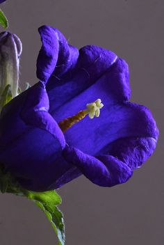 Campanula - Flickr - Photo Sharing!