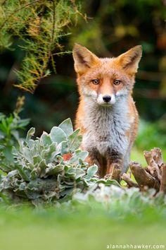 Red Fox by Alannah Hawker on deviantArt