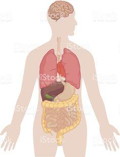Human Body Anatomy - Brain, Lungs, Heart, Liver, Intestines royalty-free stock vector art